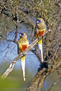 nature animals of vented blue bonnet parrot youtube