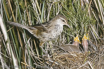 Little Grassbird at nest