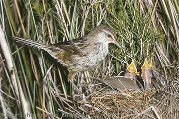 Little Grassbird at nest