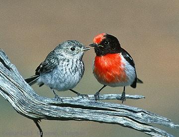 red capped robin australian birds photographs by graeme chapman