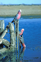 Three galahs - Australian birds
