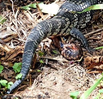 Eastern Blue-tongued Lizard - Australian Reptiles & Amphibians ...