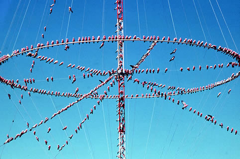 Galahs on a communications aerial - Australian birds